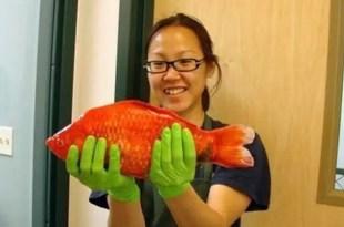 Peces dorados mutantes amenazan al ecosistema del Lado Tahoe