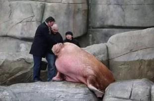 Fotos: Conoce a la morsa más grande del mundo