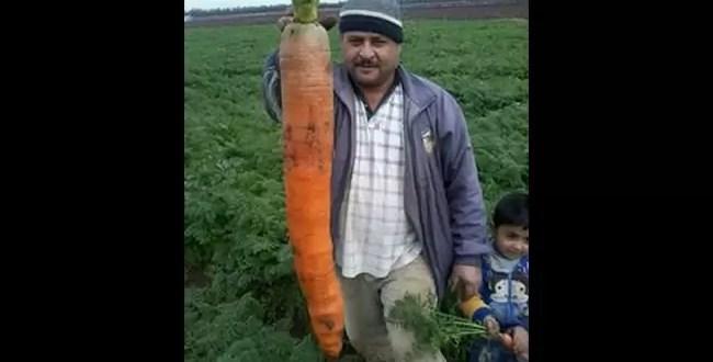 Insólito: zanahoria gigante al norte del Líbano