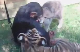 Video tierno: un mono, dos tigres y un lobo se divierten juntos