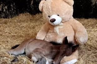 Fotos y video conmovedores: Potrillo se consuela con oso de peluche