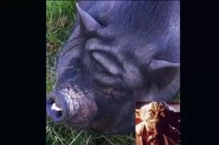 Increíble: Yoda aparece en la cabeza de un cerdo