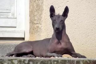 Razas de perros: Xoloitzcuintle - características