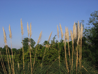 Reeds in the University Parks