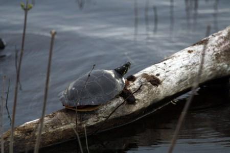 Ottawa River turtle