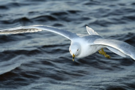 Gull (Larus), near the Ottawa River