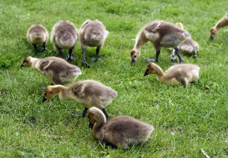 Canada Goose goslings (Branta canadensis) - Beside the Ottawa River