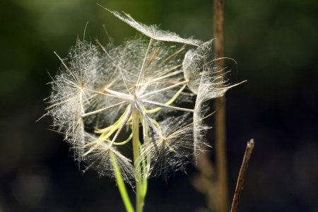 Wispy seeds