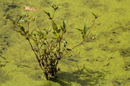 Plant with pond scum