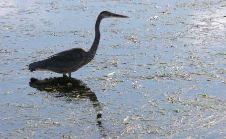 Heron in Dow's Lake, Ottawa