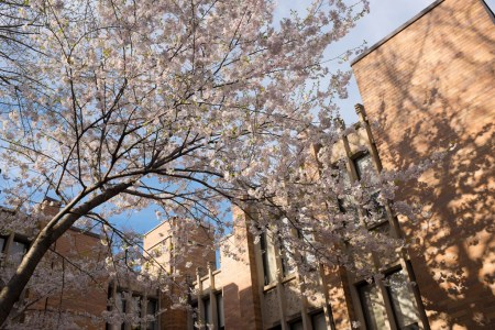 Blossoms in Massey College