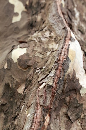 Seam on bark
