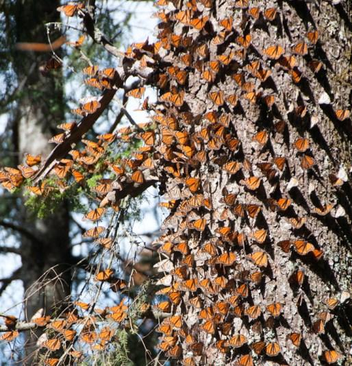 Aunque el reciente estudio apunte al éxito de la recolonización de la especie en Norteamérica, en México ésta ha disminuido drásticamente. Foto: Shutterstock