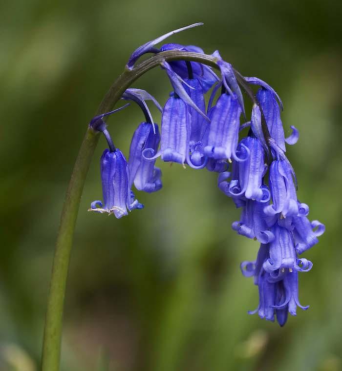 La campana azul es una de las flores que precisan de polinización de las abejas de lengua larga que están desapareciendo. Foto: Wikipedia