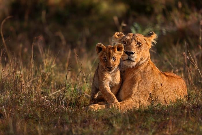 Los leones mantienen una sociedad matriarcal y dividen sus tareas de manera comunitaria. Foto: Shutterstock.