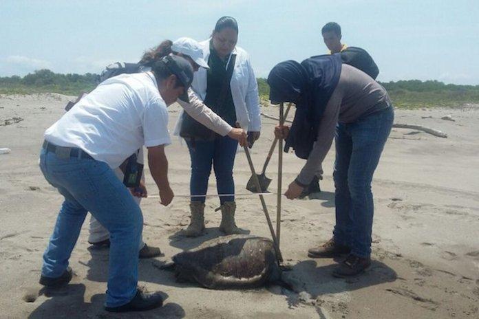 Resultado de imagen para casos de muertes de tortugas marinas en Mazatlán