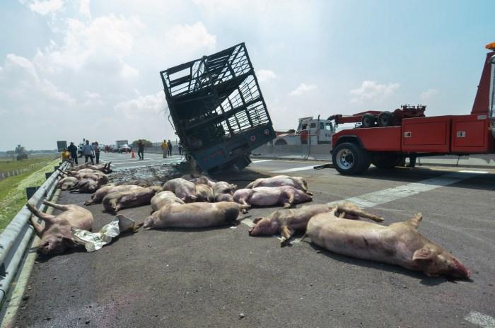 volca trailer 2 2 - VIDEOS: Un camión se vuelca en Zumpango, Edomex, y provoca la muerte de al menos 70 cerdos