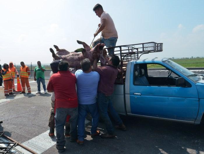 volca trailer 5 - VIDEOS: Un camión se vuelca en Zumpango, Edomex, y provoca la muerte de al menos 70 cerdos