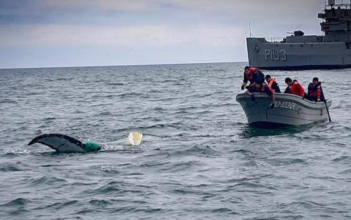 rescate ballena 1 - Una ballena jorobada queda atrapada en una red y rescatistas la liberan. Ocurrió en zona protegida de BC - #Noticias
