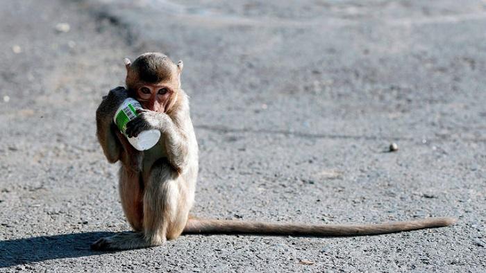 monos 4 0 - Miles de monos invaden la ciudad de Lopburi en Tailandia, y ponen en riesgo la economía local
