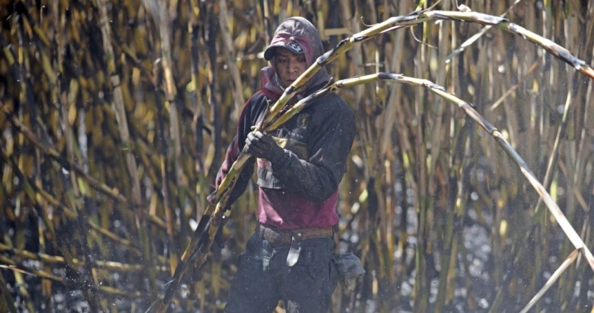 cana azucar - Analistas estiman que la cosecha de maíz mexicano crezca 7.3% en 2020: 29.09 millones de toneladas más
