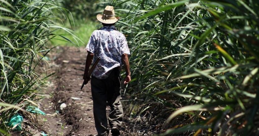 cancc83averal - Analistas estiman que la cosecha de maíz mexicano crezca 7.3% en 2020: 29.09 millones de toneladas más