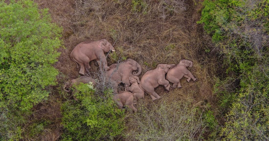 Vista aérea del 7 de junio de 2021 de elefantes asiáticos silvestres en el distrito de Jinning de Kunming, en la provincia de Yunnan, en el suroeste de China.