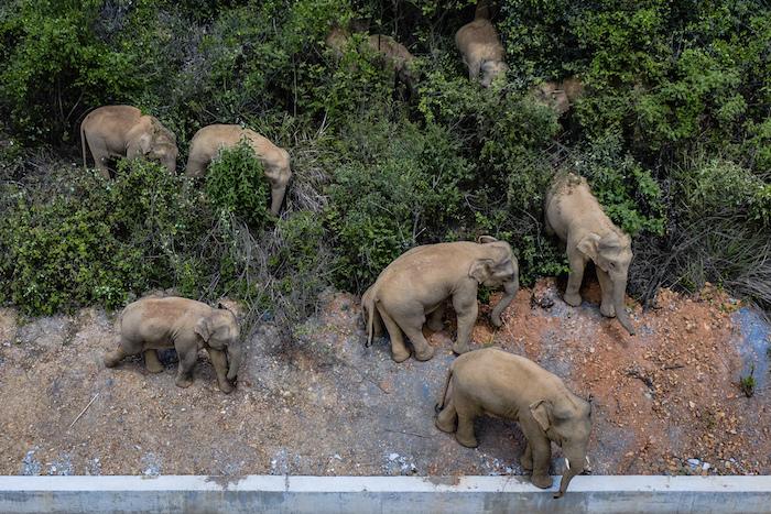 Imagen aérea distribuida por la agencia china de noticias Xinhua, en la que aparece una manada de elefantes salvajes avanzando por el condado de E'shan, en la provincia de Yunnan, en el suroeste de China, el 28 de mayo de 2021.