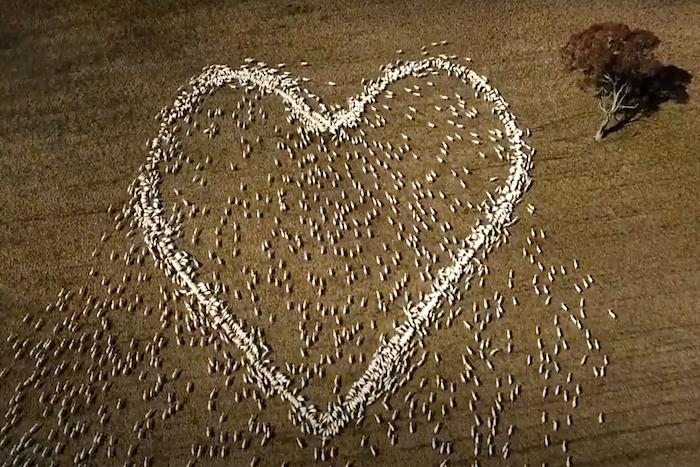 En esta imagen extraída de un video, ovejas colocadas para formar un corazón en un campo de Guyra, Nueva Gales del Sur, Australia, el jueves 5 de agosto de 2021.