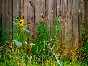 Flowers & Weeds Along a Fence