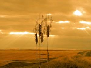 Field, Sunset, Grain
