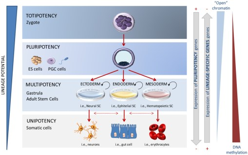 Sự phát triển và biệt hóa của tế bào gốc (Nguồn: Internet)