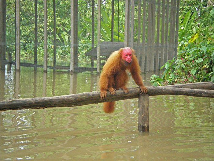 Isla de los monos qué ver en Iquitos Amazonas Perú