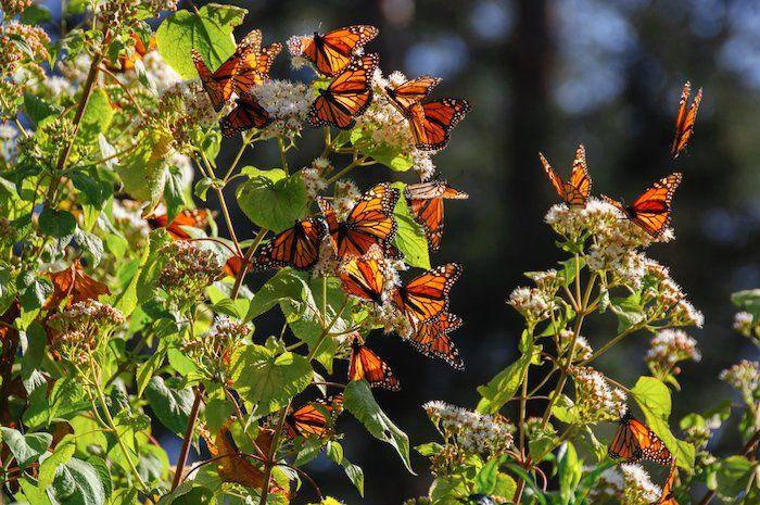 Mariposa monarca en Michoacán