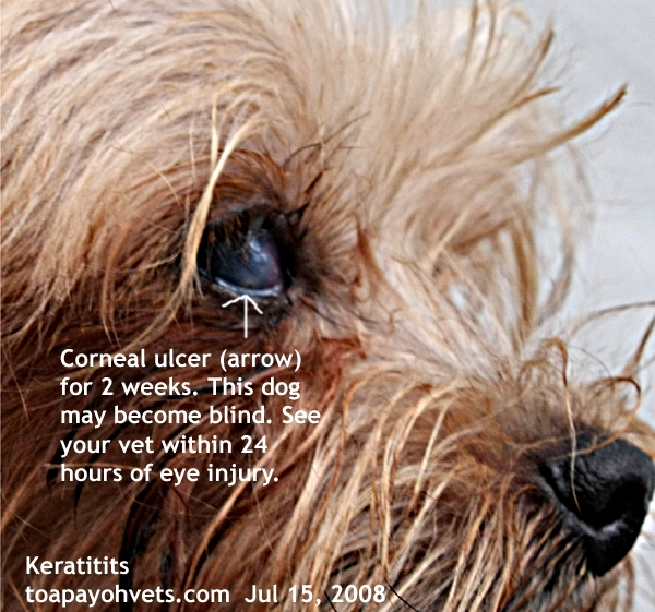 Two Weeks Of Owner S Self Treatment Dog Keeps Rubbing Eyes And Feeling Lots Pain Other Parts The Cornea Gets Infected Becomes Cloudy