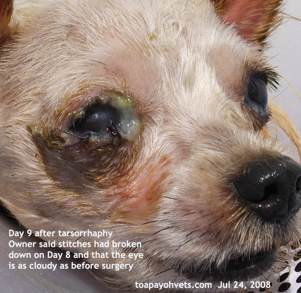 Owner Did Not Know How To Take Care Of The Eye Post Surgery As You Can See Discharges Stuck Eyelids Therefore Vet Was Acc Doing A
