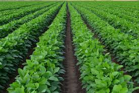 SOYBEANS CROP
