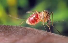 mosquito_1500566113444.jpg