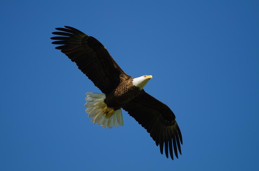 Eagle Lummi Island