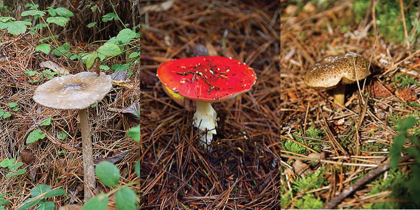 Mendocino Mushrooms