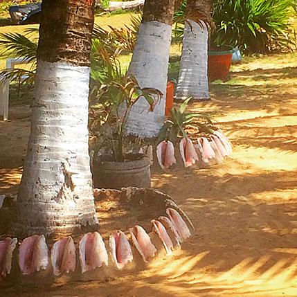 Big Corn Island Conch Shells