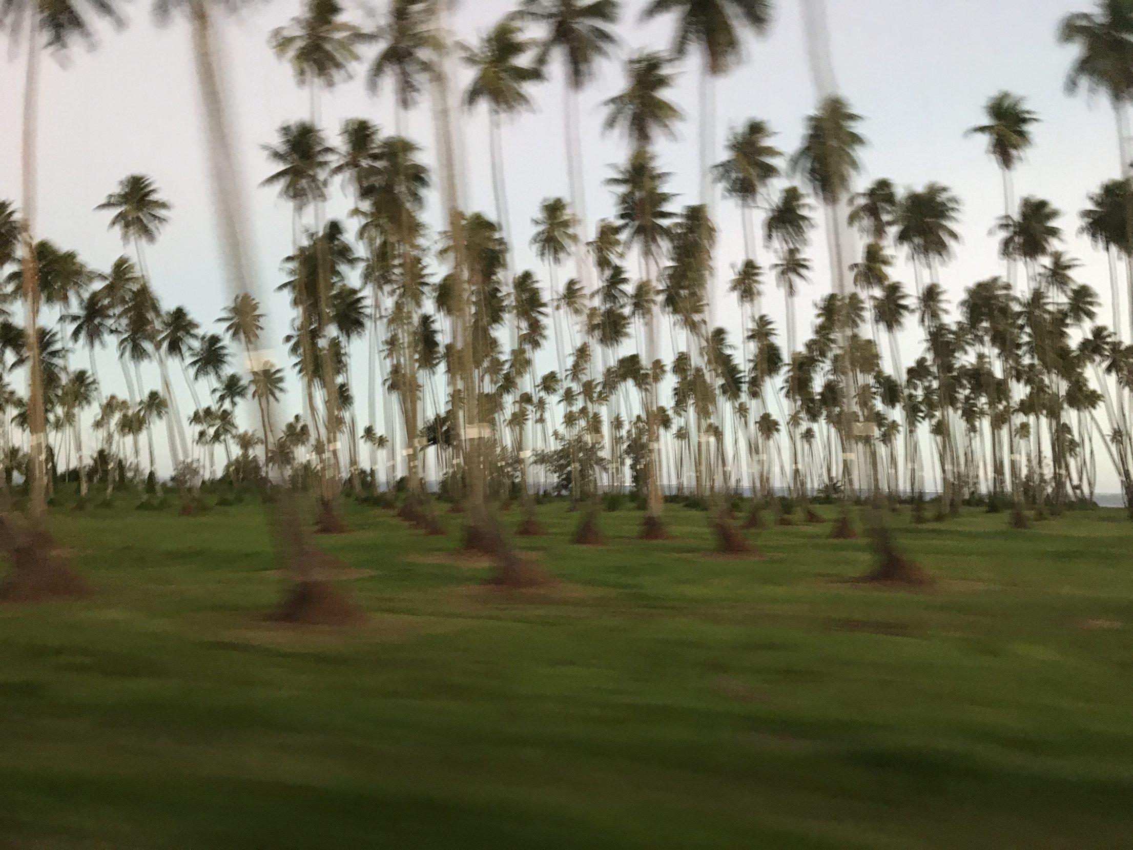 Palm trees Tahiti