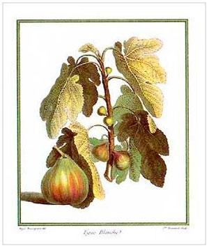 fig botanical drawing