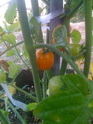 Jenny Tomato ripenson the vine