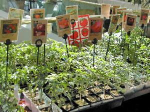tomato seedlings for sale
