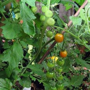 jenny tomatoes ripening on vine