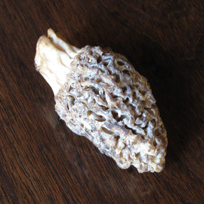 fresh morel mushroom