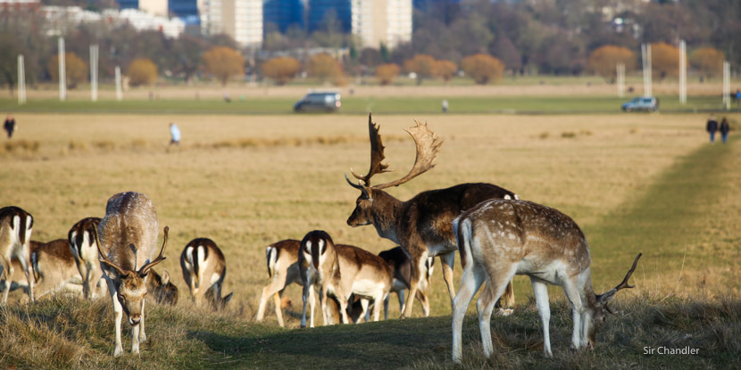 El Richmond Park, un campo en el medio de Londres