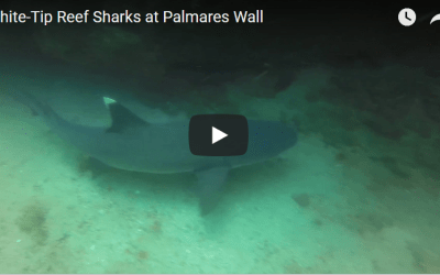 White-Tip Reef Sharks at Palmares Wall