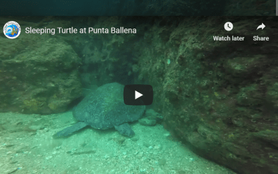 Sleeping Turtle at Punta Ballena